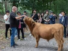 Verbazing bij Koreanen over koeien in de natuur: net als in de film