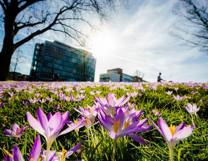 Bonte krokussen staan in bloei aan de Johan de Wittlaan in Den Haag.