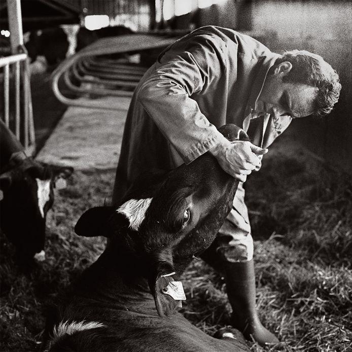Veearts Arnout Dekker inspecteert een koe.