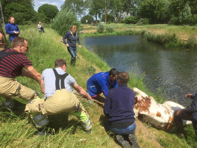 Een stel op hol geslagen koeien zorgde zaterdagmiddag voor een levensgevaarlijke situatie in Wijk bij Duurstede.
