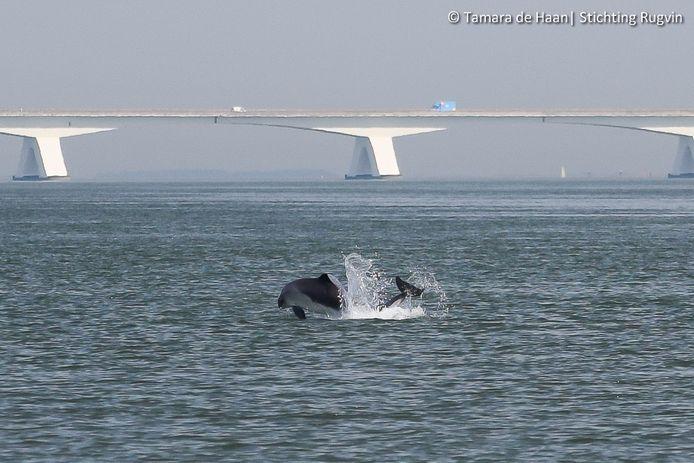 Het paargedrag van bruinvissen is op foto's vastgelegd.