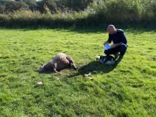 'Wolf doodt schaap': regelmatig blijkt een hond de dader