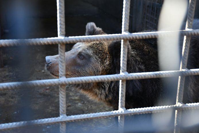 De vrouwelijke beer Ljalja in haar kooi in Oekraïne.