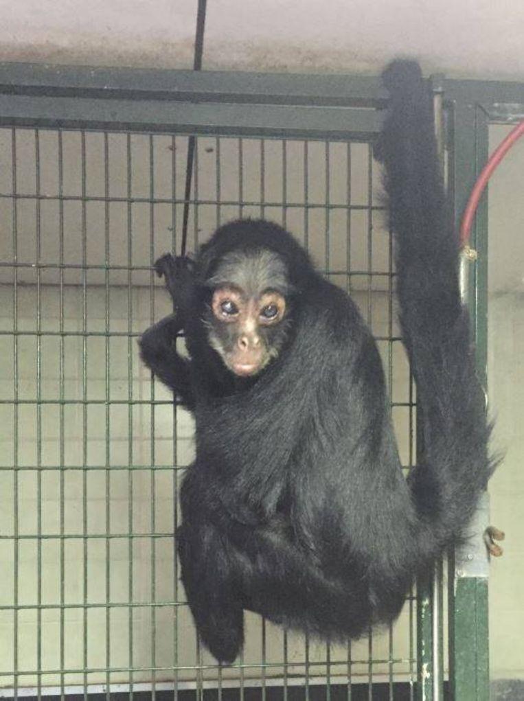 Een oudere foto van het aapje. Beeld Stuk TV