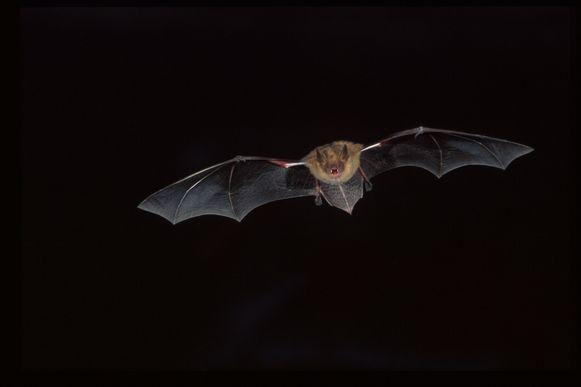 In Zillebeke zullen vleermuizen niet meer gehinderd worden door schadelijke verlichting.