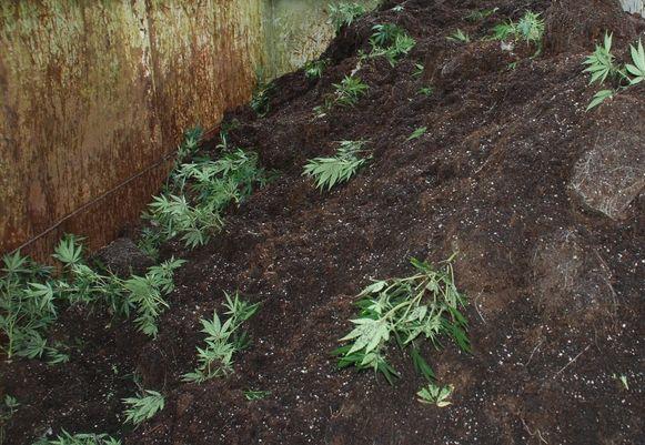 De cannabisplantage werd ontmanteld door de politiezone van het kanton Borgloon.