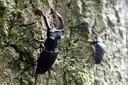 Het vliegend hert leeft als jong beest in rottend eikenhout. Het kan als volwassen exemplaar tot 9 centimeter groot worden.