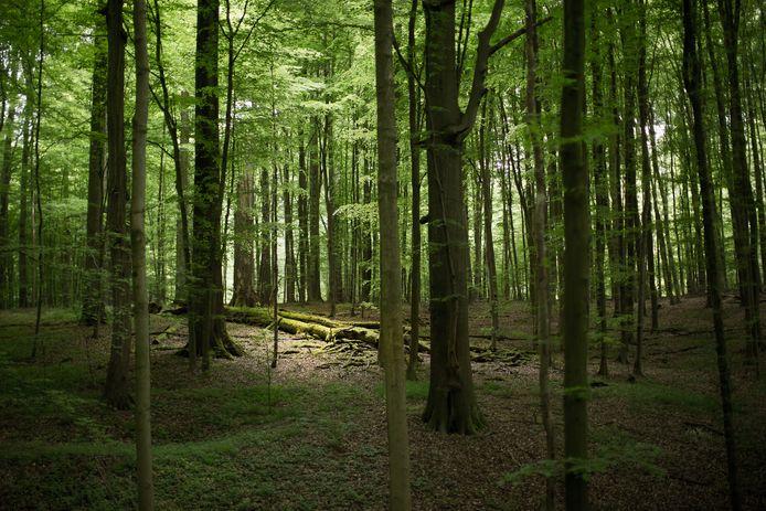 La forêt de Soignes, en banlieue bruxelloise.