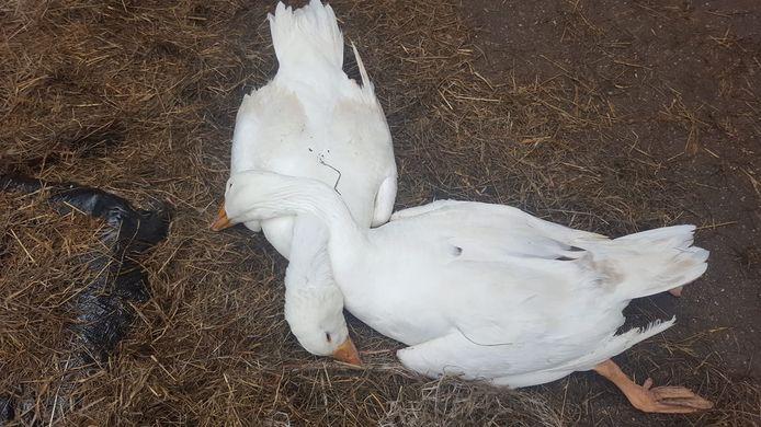 """,,De twee overleden ganzen omhelsden elkaar op het laatste moment"""", zegt boer Gijs Stok van de dierenweide."""