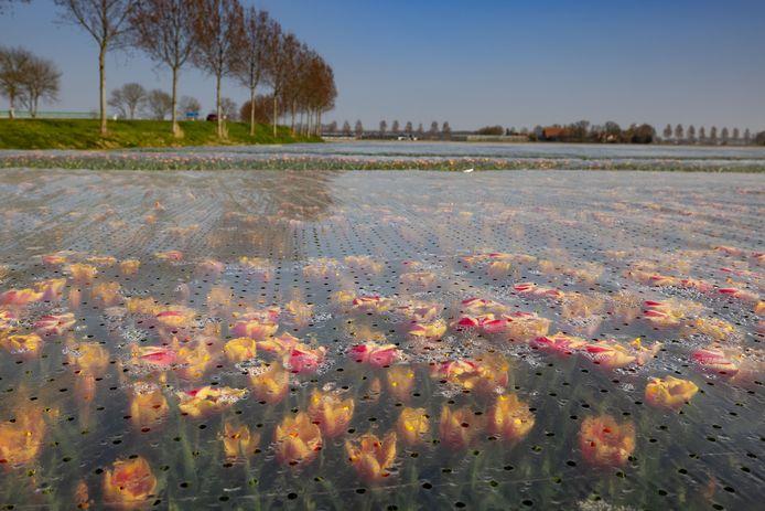 Tulpen onder het plastic langs de Domineesweg bij Nagele. Tulpenfestival Noordoostpolder duurt dit jaar van 16 april tot en met 9 mei.