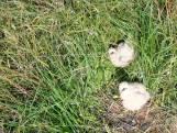 Bijzonder: Grauwe Kiekedief broedt bij Ootmarsum