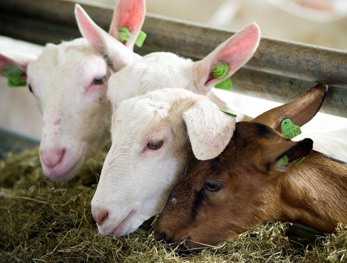 Q-koorts kan van geiten en schapen worden overgedragen op mensen. ARCHIEFFOTO ANP  XTRA LEX VAN LIESHOUT