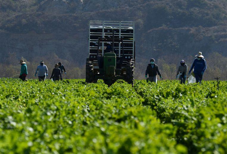 Landarbeiders aan het werk in Californië. Beeld AFP