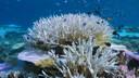 Klimaatverandering heeft koraalrif in de oceanen doen verbleken.
