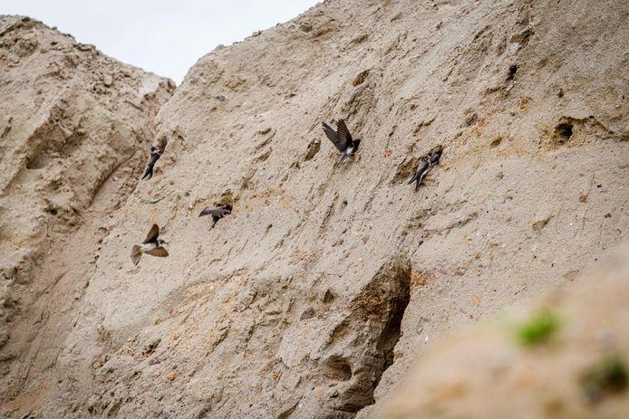 Oeverzwaluwen hebben tientallen nesten gemaakt in zandbulten nabij nieuwbouw Kees Smit.
