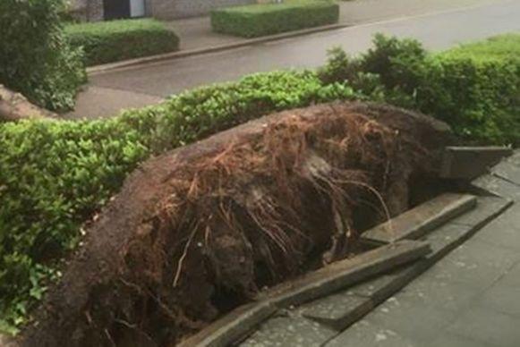 De wortels van de boom in de Watermolenstraat in Wanzele.