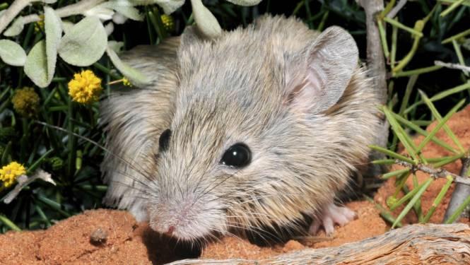 Hoe een uitgestorven gewaand muisje zich decennialang verborgen wist te houden door van identiteit te wisselen