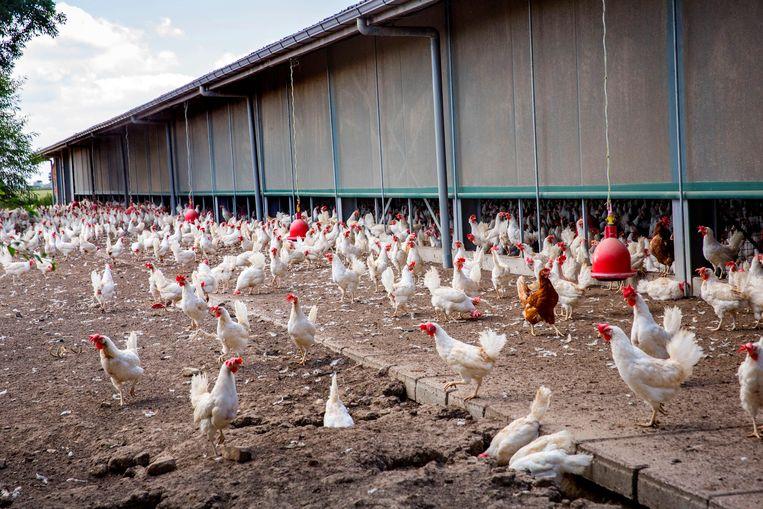 Pluimveebedrijf in Homoet. De kippenboer verloor een kleine 4 ton tijdens fipronilcrisis. Beeld Arie Kievit