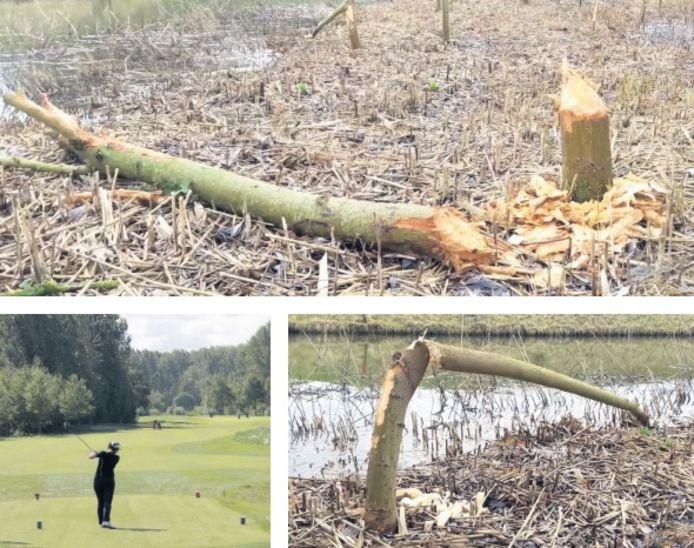 De nog nooit geziene bever heeft al tientallen bomen omver geknaagd.