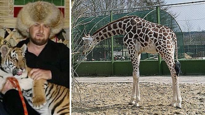 Tsjetsjenië biedt giraffe Marius-2 asiel aan