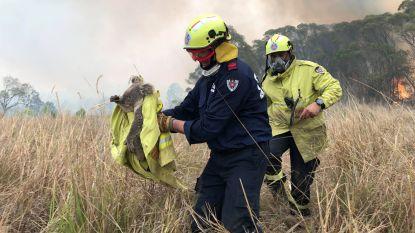 Al meer dan 2.000 koala's sterven bij bosbranden