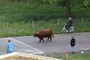 De stier loopt kalm over straat.
