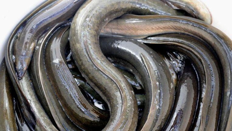 Geslachtsrijpe palingen worden uitgezet in de zee om de groei van de palingstand in Nederland te stimuleren. 2012. Beeld anp