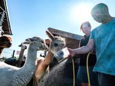 Dit is de Achterhoekse alpaca-ranch van Wilma en Gilbert: 'Ik ben niet zweverig, maar het is rustgevend'