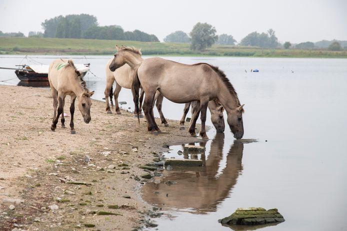 Vorig jaar bleek dat konikpaarden bij de Weurtse Plas te veel dioxines in hun vlees hadden. Archieffoto.
