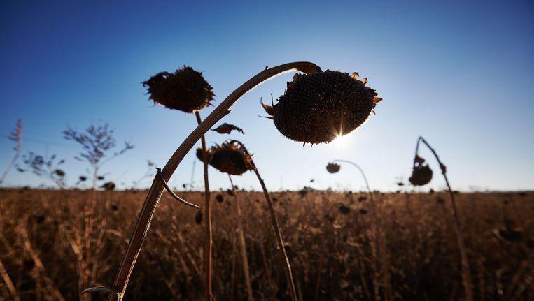 Uitgebloeide zonnebloemen in het rampgebied van de gecrashte vlucht MH17. (Archiefbeeld) Beeld Pierre Crom