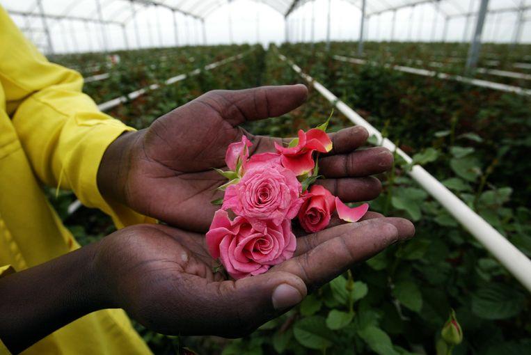Afriflora produceerde vorig jaar in het Ethiopische Ziway 730 miljoen rozen in een kassencomplex van 310 hectare groot. Beeld AFP