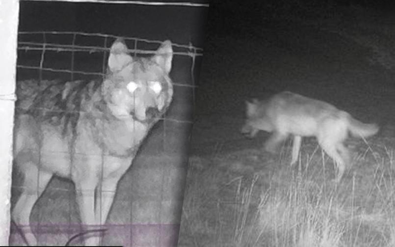 "Wolf August en wolvin Noëlla. ""Dat er welpjes zullen komen, is mathematisch zeker."""