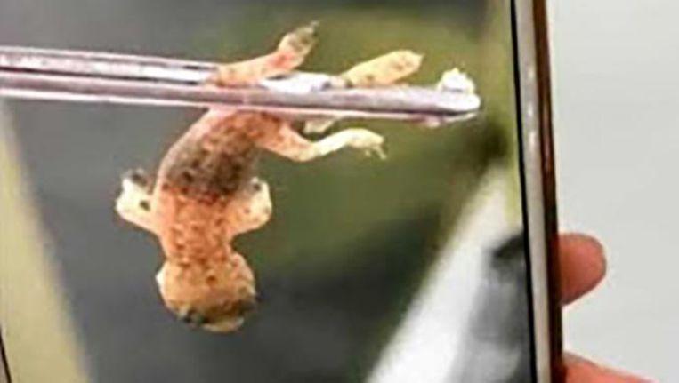 Dokters halen levende gekko uit oor van chinees bizar hln - Hoe het ontwerpen van een levende ...