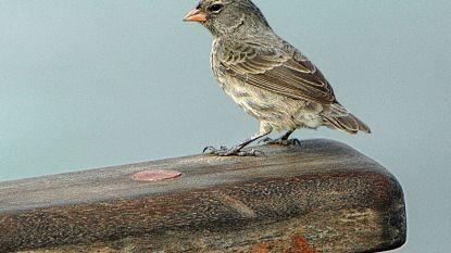 Vogels die op eiland wonen blijken slimmer dan soortgenoten