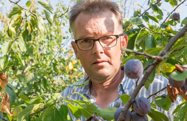 Boer Kees kan 60.000 kilo **pruimen** niet kwijt aan supermarkt: ze zijn door de **droogte** te klein gebleven