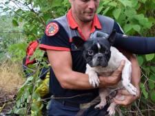 Sauvetage périlleux d'un jeune bouledogue emporté par les flots à Ougrée