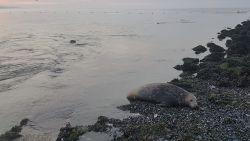Zeehonden nemen afscheid van stervende soortgenoot in Nederland