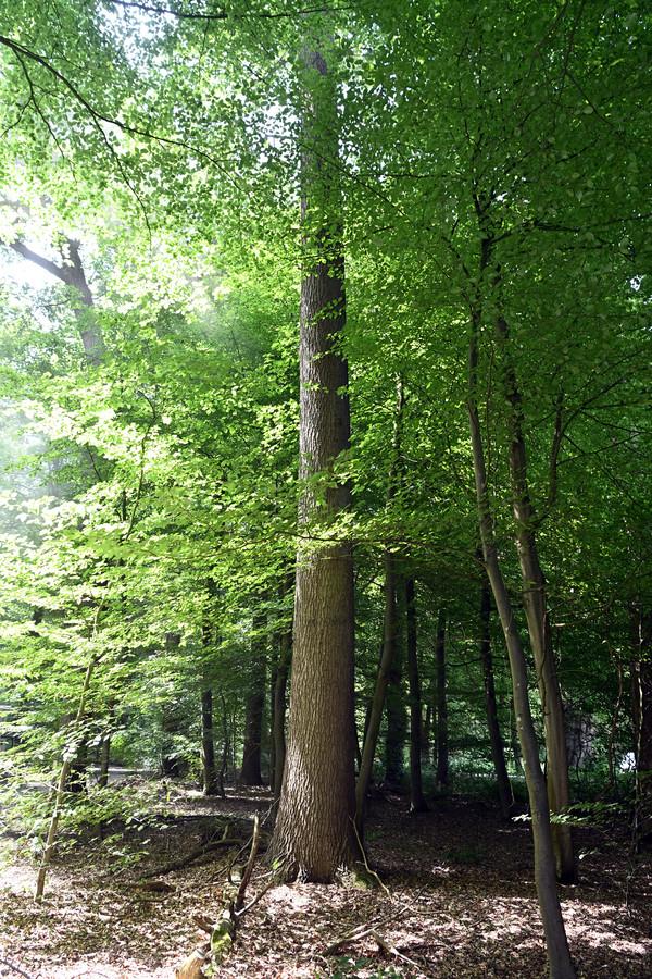 De boom op Het Laar in Ommen die de botenbouwers graag willen hebben om de Vechtzomp af te kunnen bouwen.