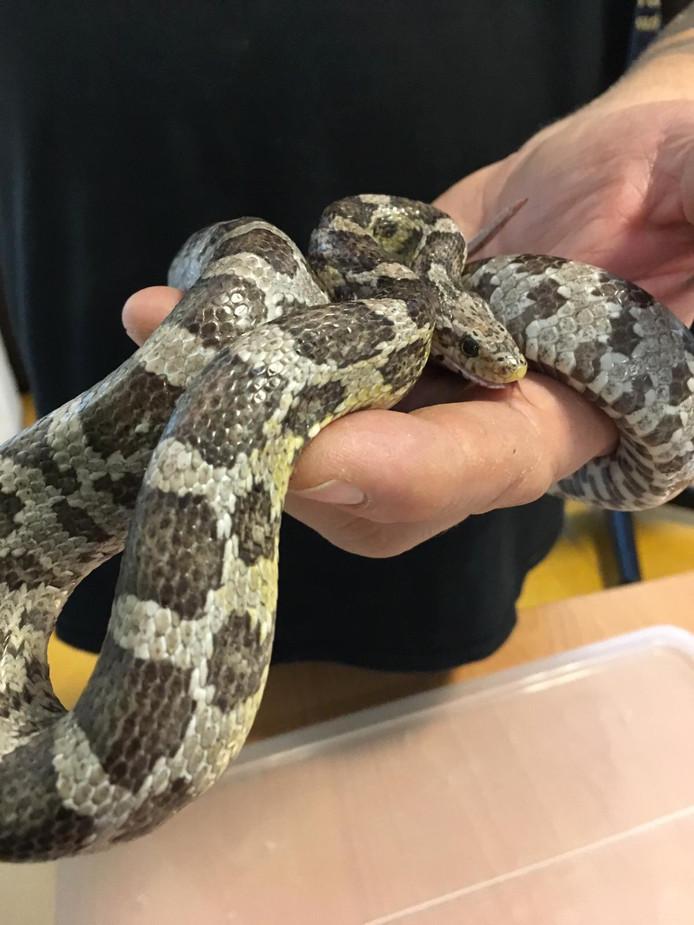 De slang, een rattenslang, maakt het inmiddels goed.