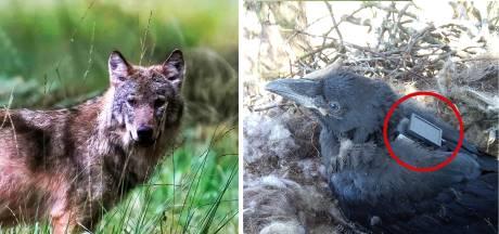 Werken raven samen met de wolf? Onderzoek met gps-zenders moet dat uitwijzen