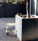 Maar liefst negen kuikens heeft ze gekregen, de moedereend van het advocatenkantoor Asselbergs & Klinkhamer aan de Bredaseweg in Etten-Leur.