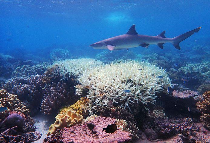 Verbleekt koraal in het Great Barrier Reef.