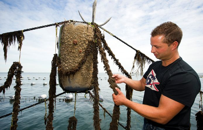 Archieffoto: mosselkweker Jos Steketee controleert een mosselzaadvanginstallatie op de Oosterschelde. Het mosselzaad groeit op kweekpercelen in twee jaar uit tot verkoopbare mosselen.