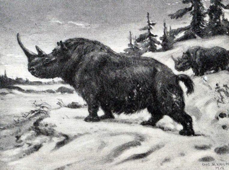 Zo moet een volwassen wolharige neushoorn er hebben uitgezien.