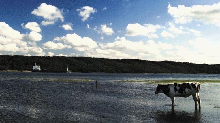 Zuid-Jutland lijkt op Nederland: koeien, uitgestrekte weiden, wolkenluchten en héél veel vergezichten. (Trouw) Beeld