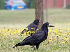Doesburg hervat strijd met oude vijand: roek op begraafplaats bestrijden met laser en harde knallen