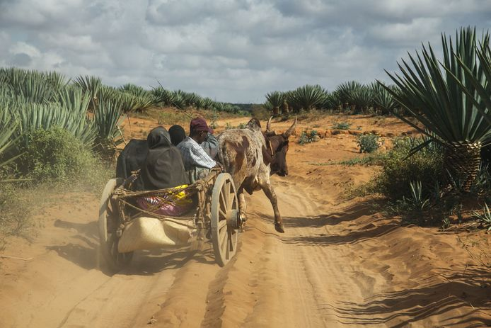 """People move around in carts pulled by zebus near Amboasary Atsimo on the National Road 13 (RN13), on August 30, 2021. - The RN13 that links the city of Fort-Dauphin on the Southeast coast and the city of Toliara on the Southwest coast. In the South of Madagascar, the national roads are mostly very bad and this is a real obstacle to the economic development of the region. For several decades the South-East of Madagascar has been a victim of the """"Kere"""" phenomenon, as the local population calls it. Kere is the food crisis due to a period of intense drought that causes a sudden stop of the cultivation of crops by the farmers for several months each year. The farmers are left without money and in a situation of """"severe malnutrition"""" or even starvation. (Photo by RIJASOLO / AFP)"""