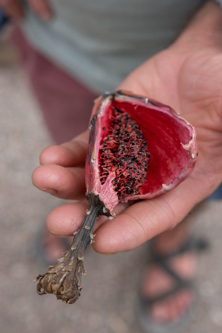 Robert Villa laat de rode cactusvrucht van een saguaro zien. Het vruchtvlees is eetbaar. Beeld Eline van Nes