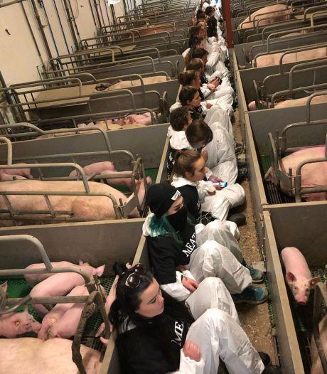 Hebben varkens in stal Boxtel dierenziekte opgelopen? Bloedprikken moet duidelijkheid geven