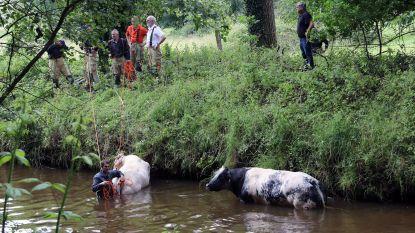 Brandweer redt twee koeien uit Kleine Nete